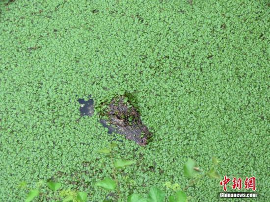安徽扬子鳄国家级自然保护区是全球最大的扬子鳄养殖基地,目前存栏总数已超过1.5万条、年产量达到2000条。<a target='_blank' href='http://www.chinanews.com/'>中新社</a>发 周应健 摄