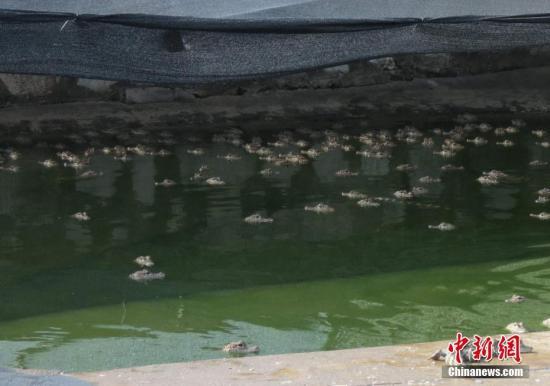 扬子鳄在水里消暑。<a target='_blank' href='http://www.chinanews.com/'>中新社</a>发 周应健 摄