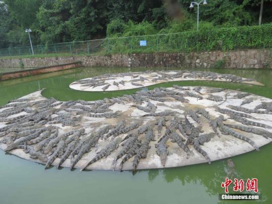 在饲养池休息的扬子鳄。<a target='_blank' href='http://www.chinanews.com/'>中新社</a>发 周应健 摄