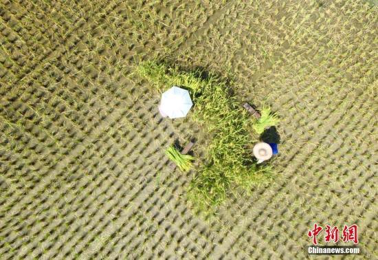航拍农民在烈日下抢收早稻。 吴练勋 摄