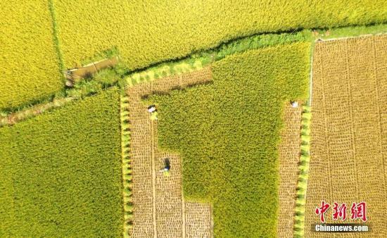 丰收的田野装点着大地。 吴练勋 摄