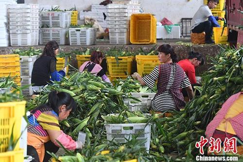 资料图:云南通海一农产品公司员工正对玉米进行加工。 <a target='_blank' href='http://www-chinanews-com.dazhubj.com/'>中新社</a>记者 任东 摄
