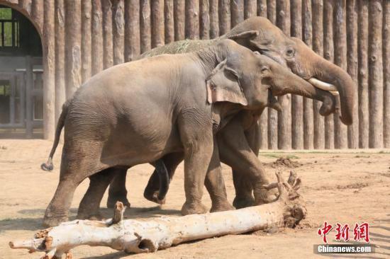 资料图:亚洲象。 郑硕 摄