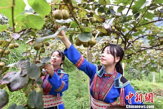 图为瑶族同胞进行猕猴桃采摘技能比赛。 吴生斌 摄