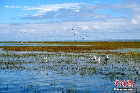 8月18日,青海湖北岸的海北藏族自治州刚察县仙女湾湿地,在此栖息的红嘴鸥。19日,记者从海北州委宣传部了解到,每年在青海湖迁徙停留的候鸟有92种、超过20万只,是中国境内候鸟繁殖数量最多、种群最为集中的繁殖地。 中新社记者 李隽 摄