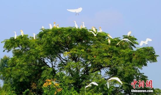 """近日,在江西省泰和县沿溪镇源塘村,一群白鹭,时儿结伴高飞,时儿飘落树梢,时儿低空俯冲,时儿散落田间。飞舞的白鹭、多彩的田园、茂盛树林,构成了一幅生态长江美丽画卷。近年来,江西省泰和县牢固树立长江""""共抓大保护、不搞大开发""""的理念,着力实施生态环境治理工程,大力开展治山兴林、植树造林等系列生态建设,全县森林覆盖率达62%。优美的生态巢吸引了大量红腹锦鸡、白鹭等野生鸟类前来繁衍栖息、""""安家落户""""。邓和平 摄"""