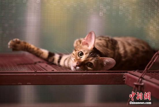 资料图:猫咪。 戴佳阳 摄