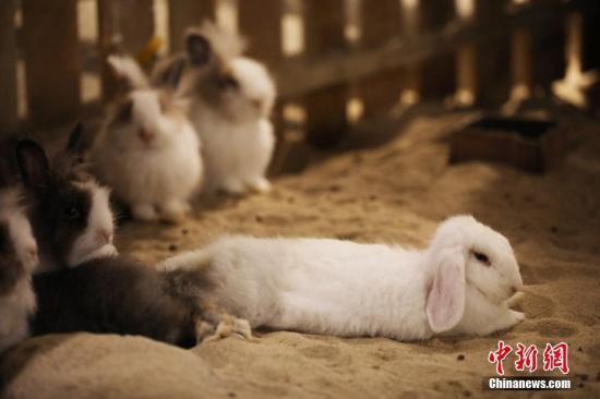 懒洋洋的兔子。 戴佳阳 摄