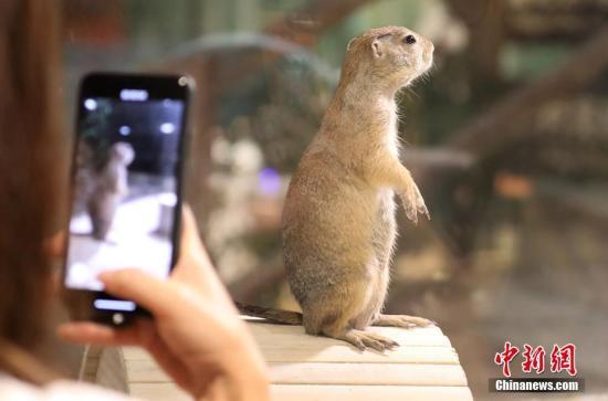 一看到手机,土拨鼠就笔直了腰杆。 戴佳阳 摄