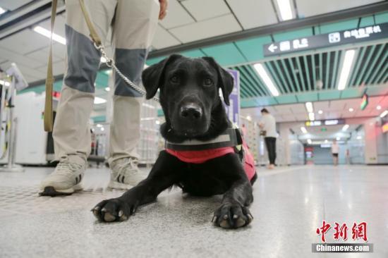资料图:拉布拉多犬。 <a target='_blank' href='http://www.chinanews.com/'>中新社</a>记者 张远 摄