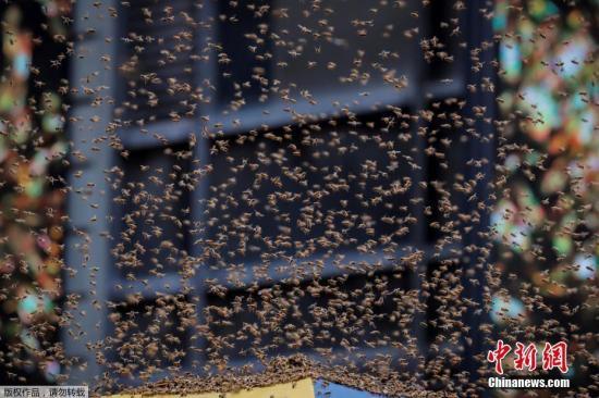 材料图片:蜜蜂蜂群。