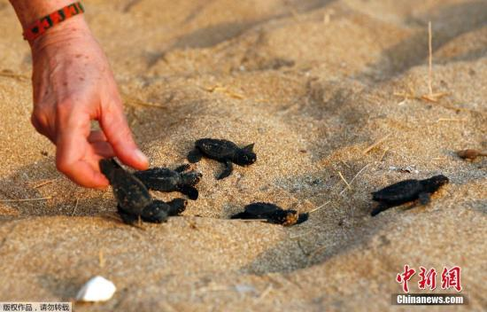 Baby turtles face threats lurking around human structures: study