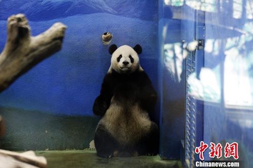 """8月30日,大熊猫团团、圆圆在位于台北木栅的市立动物园迎来14岁""""生日宴""""。自2008年12月23日由四川成都飞抵台北,这对""""夫妻""""已在此度过近10年,并在2013年7月有了爱情结晶――圆仔。特展馆馆长王怡敏介绍,当天动物园为""""寿星""""准备的""""蛋糕""""上有用胡萝卜做成的花朵图案,代表园方期待小家庭还有好事""""发""""生(闽南语中花字发音与发字相似)、开枝散叶。图为团团在睡醒后于房间内踱步。<a target='_blank' href='http://www.chinanews.com/'>中新社</a>记者 杨程晨 摄"""