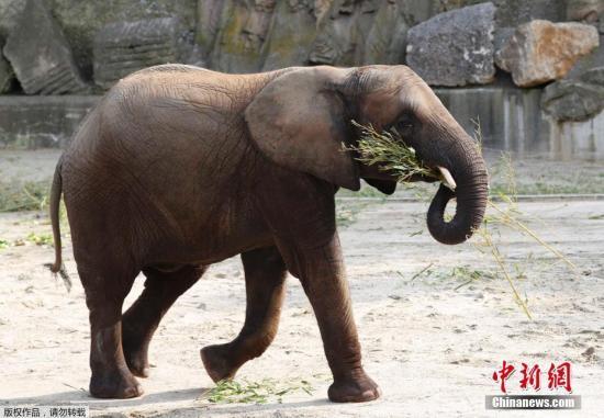当地时间2018年9月4日,奥地利维也纳美泉宫动物园内,母象Iqhwa庆祝五岁生日,和家人一起享用水果蔬菜生日蛋糕。大象Iqhwa是通过非洲象冷冻精子受精而出生的成功案例。