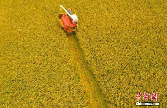 湖北枝江进入中稻收获季节。周星亮 摄