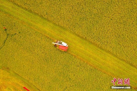 资料图:湖北枝江市问安镇方家畈村,收割机驰骋在田间收割作业,丰收在望。周星亮 摄