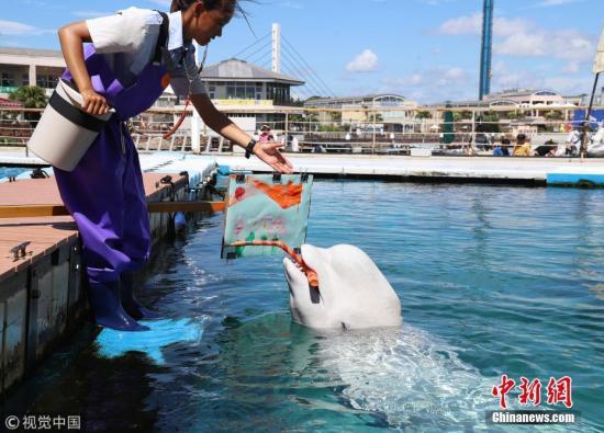 当地时间2018-11-20,日本横滨,八景岛海洋乐园水族馆举办白鲸艺术活动,一头白鲸叼着画笔作画有模有样。 图片来源:视觉中国