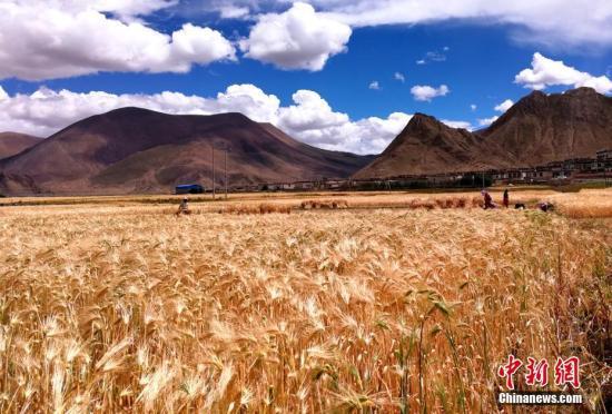 西藏规划超1200亿配资资讯元发展河谷经济与青稞牦牛产业