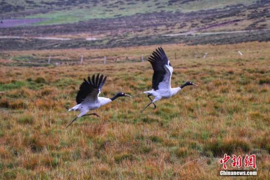 黑颈鹤在草原上结伴而飞。 安建斌 摄