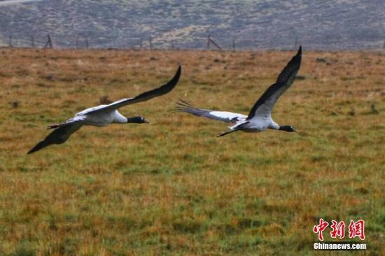 黑颈鹤在天空中展翅翱翔。 安建斌 摄