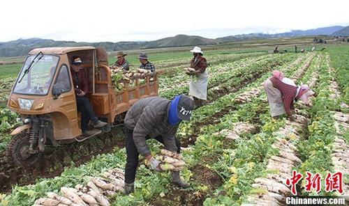 资料图:生态农牧业助推产业扶贫。图为四川理塘县濯桑生态萝卜种植基地的村民们正在将萝卜装车。 /p中新社发 叶强平 摄