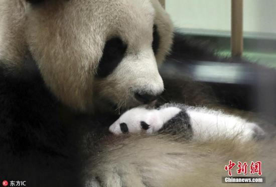 """旅日熊猫""""彩滨""""独立生活后 首次进行户外运动"""