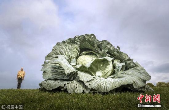 資料圖:巨型卷心菜。圖片來源:視覺中國