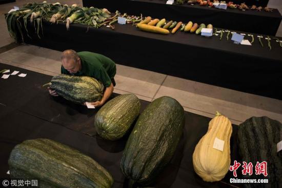 資料圖:英國哈羅蓋特秋季花展舉辦巨型蔬菜大賽,展出珍貴的蔬菜。圖片來源:視覺中國