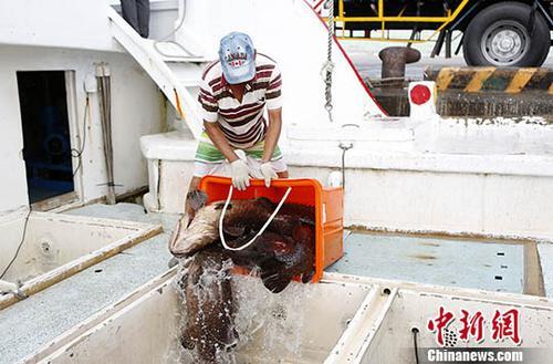 图为东港船员在码头将龙胆石斑鱼装船,翌日即将送抵福建厦门。<a target='_blank' href='http://www.chinanews.com/'>中新社</a>记者 杨程晨 摄