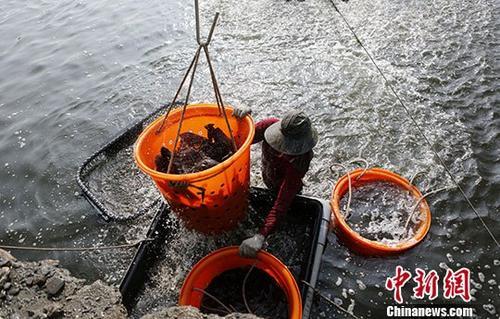 资料图为2018年台湾屏东县东港养殖户,将龙胆石斑鱼从养鱼池搬上卡车,再运至码头销往大陆。中新社记者 杨程晨 摄