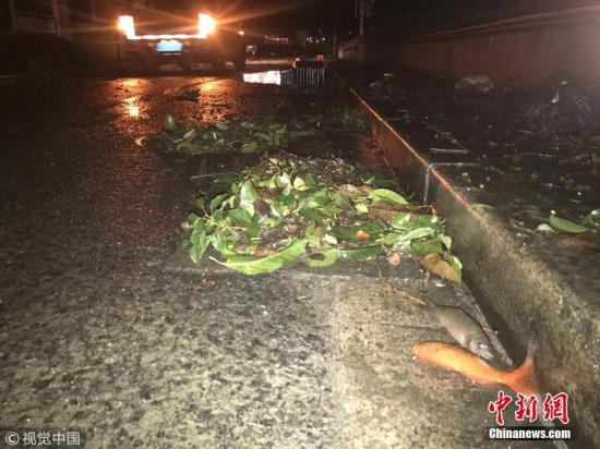 2018年9月17日凌晨12点多,广州市荔湾区沙面,潮水退去,鱼搁浅在路中间。 图片来源:视觉中国
