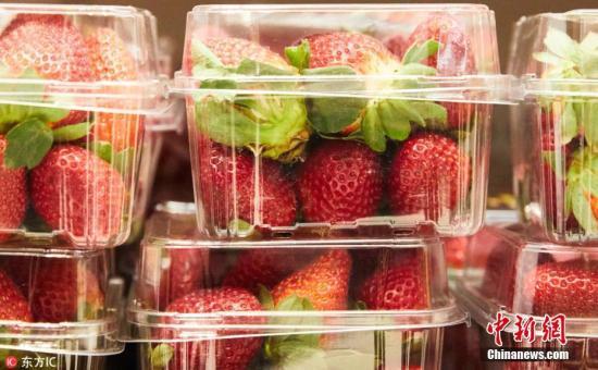 """昆士兰州男子Joshua Gane在社交网络上称,他9日买澳大利亚品牌""""莓果迷""""的草莓来吃,他的朋友不小心吞下藏在草莓中半根针,事后腹部剧痛送医。他们发现同一盒草莓中,还有另一颗草莓也被插针。昆士兰州政府提出10万澳元的悬赏金,并表示愿意提供协助,希望警方可尽早逮捕凶手。 文字来源:观察者网 图片来源:东方IC 版权作品 请勿转载"""