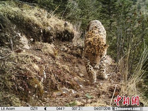 9月18日,青海省玉树市环境保护和林业局对外表示,过去一年时间里,地处青海、四川和西藏三省区的交界处的东仲林场区域内红外相机共计捕捉到了17种兽类,其中包括了金钱豹、雪豹、白唇鹿等五种国家一级保护动物,经过个体识别,林场区域内分布有至少9只金钱豹个体。中新社发 山水自然保护中心供图