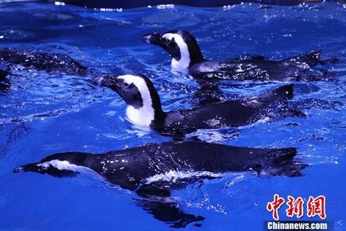 资料图:企鹅。<a target='_blank' href='http://www.chinanews.com/'>中新社</a>发 赖通 摄