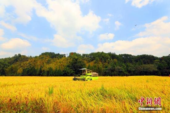 材料图:农人支割火稻。邓战争 摄