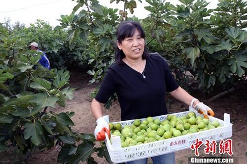 9月中旬,山东荣成无花果进入秋果成熟期,果农们忙着摘果、分级、销售。作为当地具有独特风味的生鲜水果,近年来,受到越来越多民众的喜爱。(资料图)中新社记者 任海霞 摄