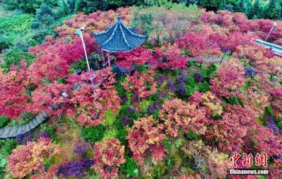 资料图:秋天的红枫林。李化 摄