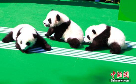Giant panda cubs are on display during a public event at the Chengdu Research Base of Giant Panda Breeding in Chengdu city, Sichuan Province, on Sept. 28, 2018.  (Photo/China News Service)