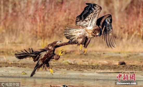 9月28日讯(具体拍摄时间不详),美国华盛顿州,57岁的摄影师Loren Mooney在当地斯卡格特山谷拍摄到两只饥饿的秃鹰在河边激烈争夺一条鲑鱼。Loren Mooney描述说,鲑鱼洄游到河中准备在冬季产卵,不料却成了秃鹰的食物。两只雄鹰为同一条鱼大打出手,其中一只从空中俯冲而下,袭击了另一只鹰的背部,此后它们用利爪互相攻击。图片来源:视觉中国