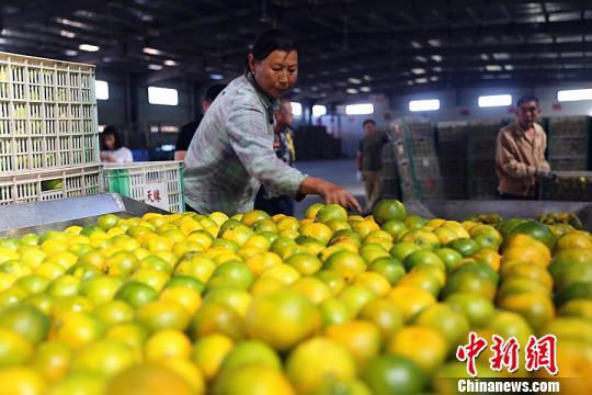 资料图:柑橘 李重庆 摄