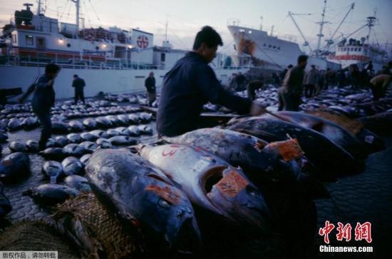 1988年12月8日在东京东京筑地市场的渔船上捕到的金枪鱼。