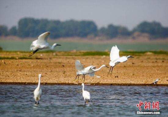 资料图:10月4日,在江西鄱阳湖都昌马影湖水域拍摄的白鹭。<a target='_blank' href='http://www-chinanews-com.tuoxiaowang.com/'>中新社</a>发 傅建斌 摄