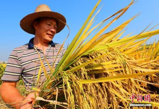10月6日,金秋十月,在江西省泰和县万合镇陂溪村金色田野上,农民在收割水稻。 邓和平 摄