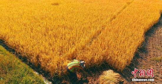 资料图:稻田。 邓和平 摄