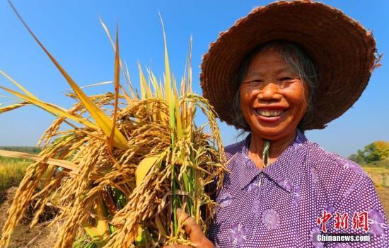 资料图:农民在收割水稻,收获丰收的喜悦。 邓和平 摄