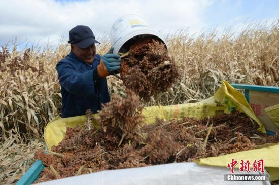 10月9日,一名男子将收获的高粱装车。近日,内蒙古呼和浩特进入农田收获的时节,农民们忙于田间地头,收获玉米、高粱等农作物。<a target='_blank' href='http://www-chinanews-com.g58b.com/'>中新社</a>记者 刘文华 摄