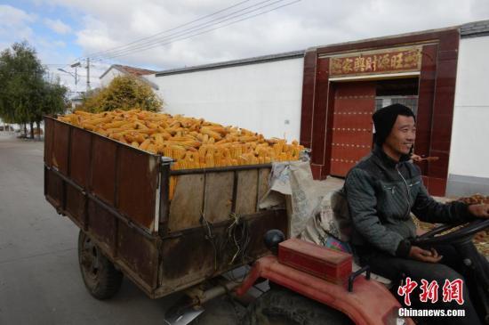 10月9日,一名男子开拖拉机运送收获的玉米。近日,内蒙古呼和浩特进入农田收获的时节,农民们忙于田间地头,收获玉米、高粱等农作物。中新社记者 刘文华 摄