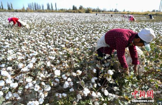 """10月10日,被誉为""""中国长绒棉之乡""""的新疆阿瓦提县丰收三场,棉农正在棉田中采摘棉花。2018年,新疆棉花种植面积达到3700多万亩,占全国棉花种植面积的80%。9月中下旬天山南北进入棉花采摘期,目前正是新疆各地棉花采收最忙时节。<a target='_blank' href='http://www-chinanews-com.xzljinkouhongjiu.com/'>中新社</a>记者 刘新 摄"""