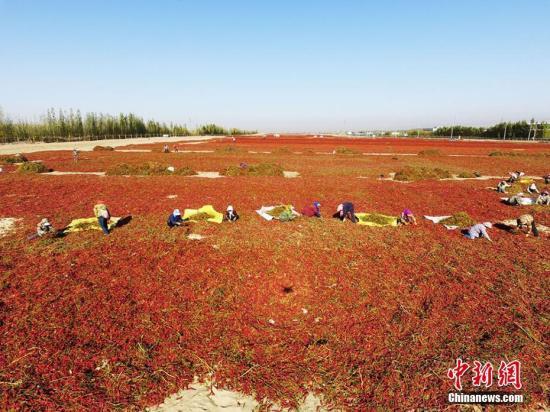 原料图:航拍新疆生产建设兵团第二师二十一团辣椒晾晒场面