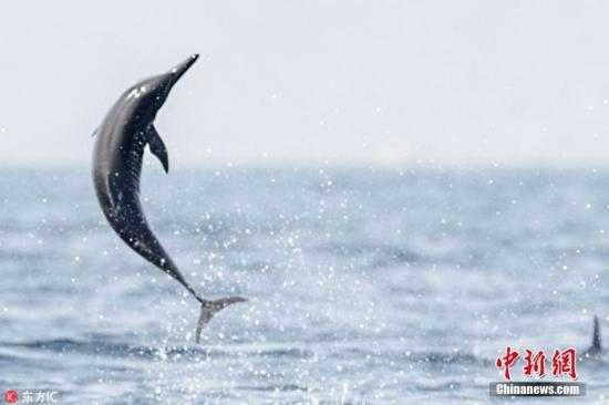 资料图:海豚跃出水面。图片来源:东方IC 版权作品 请勿转载